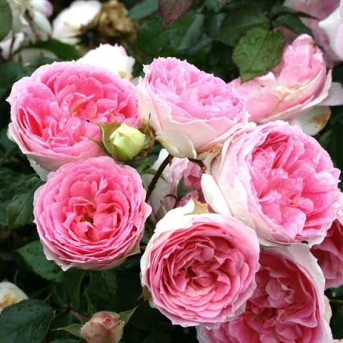 Роза кустовая Курфюрстин Софи