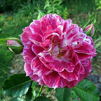 Троянда флорибунда Летс Селебрейт