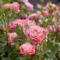 Троянда мініатюрна Алегро симфонія
