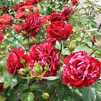 Троянда флорибунда Діп Импрешн