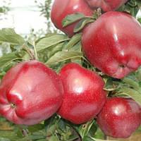 Яблоня Топ Ред