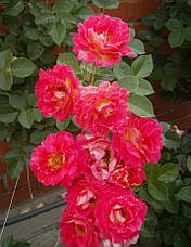 Роза Декор Арлекин (Decor Arlequin/Павлиний Глаз) Плетистая, фото 3