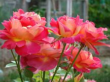 Роза Декор Арлекин (Decor Arlequin/Павлиний Глаз) Плетистая, фото 2