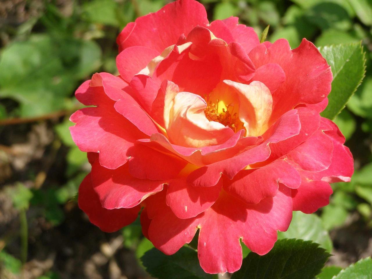 Роза Декор Арлекин (Decor Arlequin/Павлиний Глаз) Плетистая