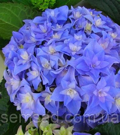 Гортензия крупнолистная  Романс Блю \ Hydrangea mac.You & Me Romance Blue ( саженцы) Новинка