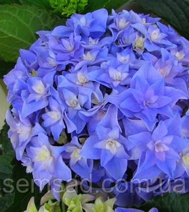 Гортензия крупнолистная  Романс Блю \ Hydrangea mac.You & Me Romance Blue ( саженцы) Новинка, фото 2