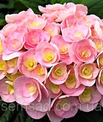 Гортензия крупнолистна Ю энд ми Лав  \ Hydrangea macrophylla You & Me Love ( саженцы) Новинка