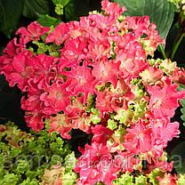 Гортензия крупнолистная Спайк Ред \Hydrangea macrophylla Curly Sparkle Red ( саженцы ) Новинка, фото 2