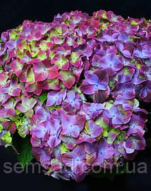 Гортензия крупнолистная Грин Липс Пурпле \ Hydrangea macrophyla Green Lips Purple ( саженцы 2 года)