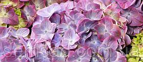 Гортензия крупнолистная Грин Липс Пурпле \ Hydrangea macrophyla Green Lips Purple ( саженцы 2 года), фото 2