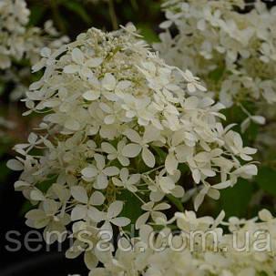 Гортензия метельчатая Дентель де Горрон \ Hydrangea paniculata  Dentelle De Gorron ( саженцы 3 года), фото 2