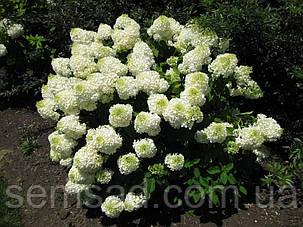 Гортензия метельчатая Сильвер Доллар \ Hydrangea paniculata Silver Dollar  ( саженцы 3 года), фото 2