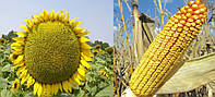 Семена кукурузы Monsanto DKC3511 ФАО 330