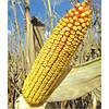 Семена кукурузы DN ARGO арго  кукуруза фао 250