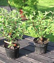 """Гортензия метельчатая """" Бомбшейл"""" \ hydrangea paniculata bombshell ( саженцы 3 года), фото 3"""