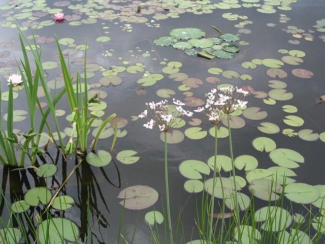 Устройство природных водоемов с посадкой водяных и прибережных растений