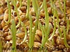 Зародышей пшеницы масло, раф., 100 мл