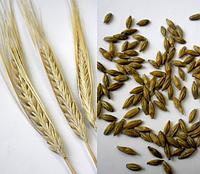 Семена ячменя ПАРНАС