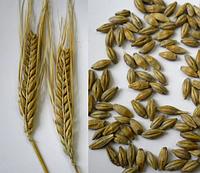 Семена ячменя Этикет