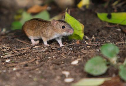 Прежде чем купить мышиный яд, узнайте, как он действует