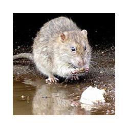Как действует крысиный яд на крыс, фото№1