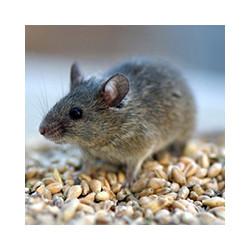 Через сколько действует крысиный яд, фото№3