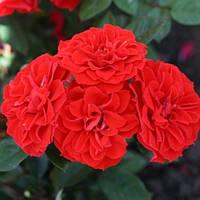 Троянда мініатюрна Оранж Санблейз