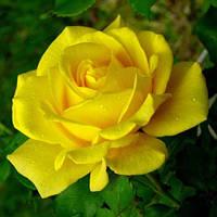 Троянда мініатюрна Перебудова