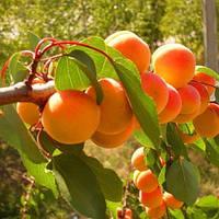 Абрикос дерево сад