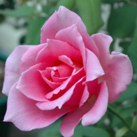 Роза чайно-гибридная Эйфелева башня