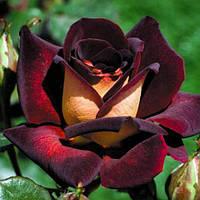 Роза чайно-гибридная Эдди Митчелл