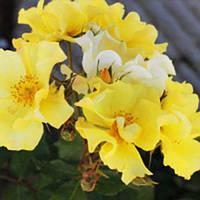 Троянда флорибунда Алі Дорате