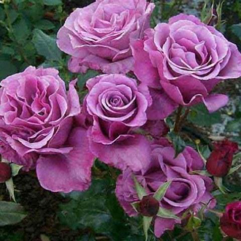 Роза чайно-гибридная Шокин Блю