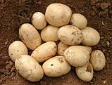 Картофель  Орла (Голландия) ультраранний 1 репродукция, фото 2