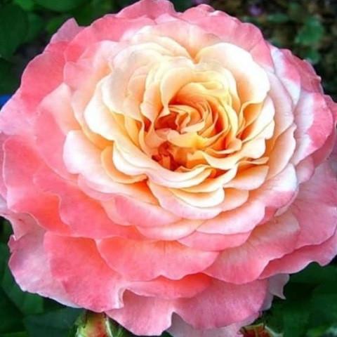 Роза чайно-гибридная Ленни