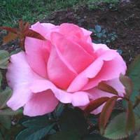 Троянди чайно-гібридна Жардін де Вілландрі