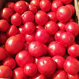 Семена томата Сагатан F1 (2500 сем.) Syngenta, фото 2