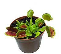 Растение Хищник Венерина мухоловка Дентана AlienPlants Dionaea muscipula Dentate размер L