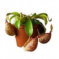 "Растение хищник Непентес Хукериана AlienPlants Nepenthes ""Hookeriana"""