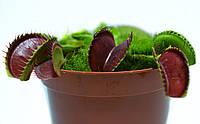 Растение хищник Венерина Мухоловка AlienPlants B52 Dionaea muscipula B52 размер L