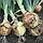 Семена лука Сафран F1, Универсальный высокоурожайный гибрид, семена лука в профупаковке Bejo 250 000 семян, фото 2