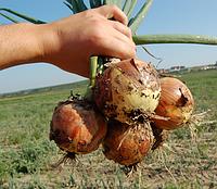 Седона F1 - семена лука, Bejo - 250 000 семян, фото 1