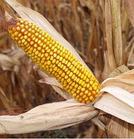Семена кукурузы  ПОДЫХ МВ