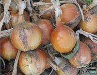 Семена лука репчатого Леон Bejo Zaden профупаковка 250 000 семян, мощный сорт для южных регионов, фото 1