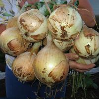Эксибишн - семена лука, Bejo - 10 000 семян
