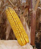 Семена кукурузы  БЕЛКОРН 260МВ