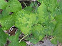 Появляющиеся пятна на листьях помидор в теплице: что это значит и как бороться