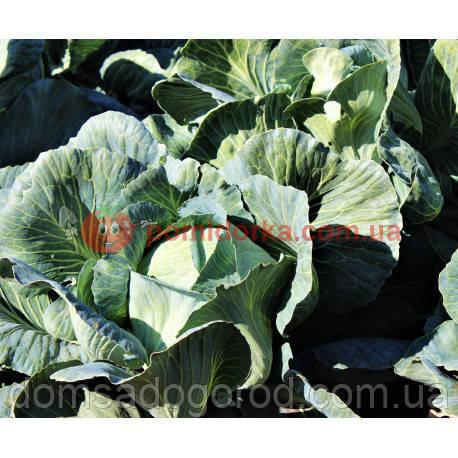 Капуста АНКОМА F1 | ANCOMA F1 Rijk Zwaan 1000 шт ( улучшенные семена )