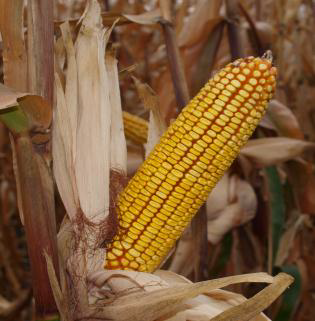 Семена кукурузы  СВИТАНОК МВ