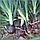 Гибрид красного репчатого лука Ред Булл F1, профессиональные семена Bejo 250 000 семян, Голландия, фото 2